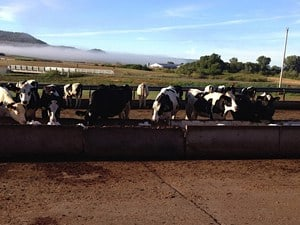 Heifers making manure.