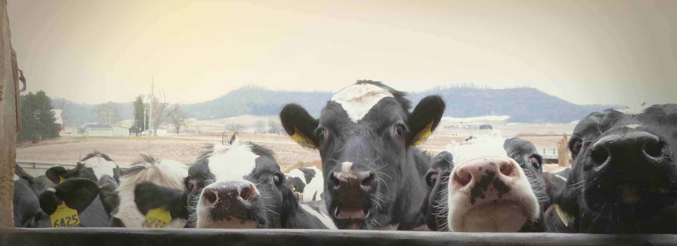 new-cowsmo-slide-cows