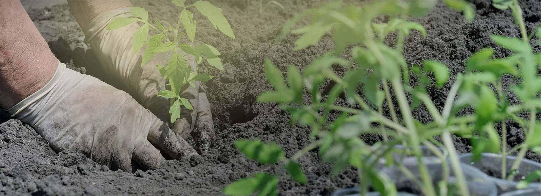 planting-tomato-optimized